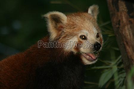 kleiner panda 4