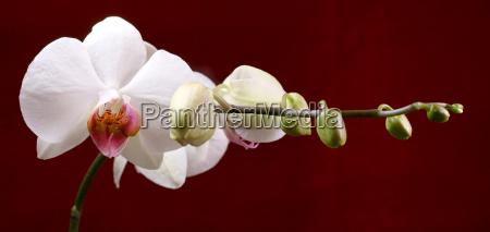 orchidaceae 12