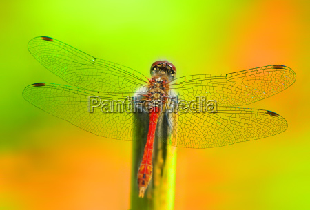 farbenfrohe libelle