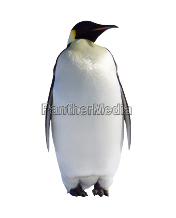 animal bird penguins antarctic birds penguin