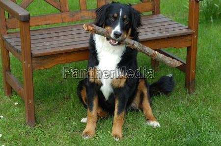 bernersennenhund mit stock