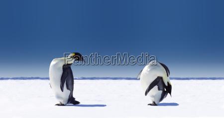 penguin sport