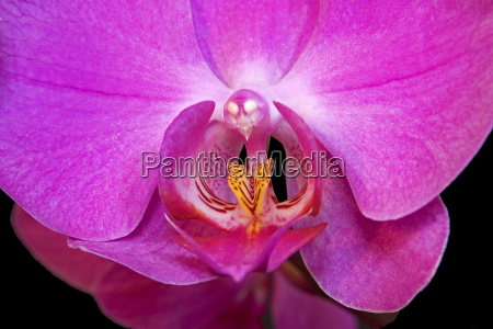 erotische phaleonopsis