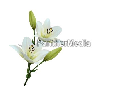weiße, lilien - 539881