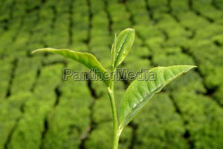 teestrauch vor teeplantage