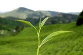 teestrauch vor bergen und teefeldern