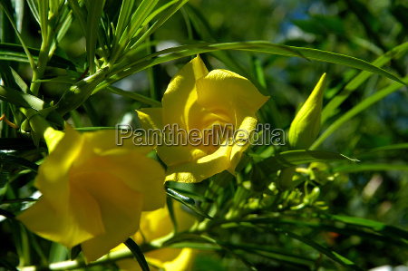 nachtkerze oenothera missouriensis