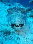 kugelfisch smile