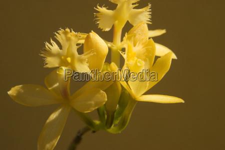 gelbe orchidee