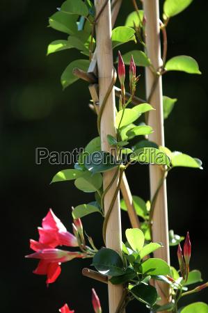 kletterpflanze madevilla