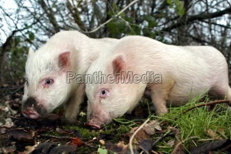 goettinger minischweine