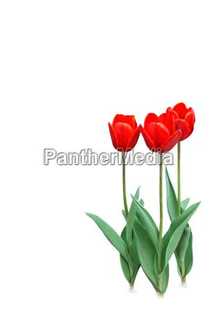 drei tulpen auf weissem hintergrund