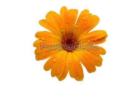 gelb nass gerber daisy ueber weisse