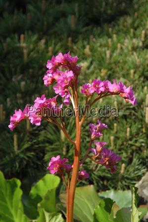 bergenie bergenia moench saxifragaceae