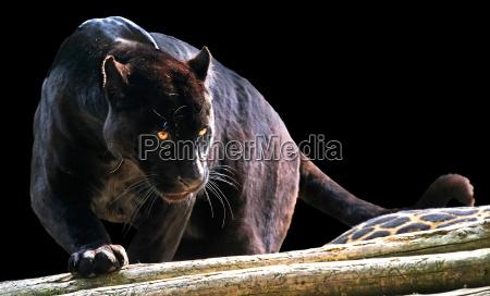 schwarzer, panther - 1332513