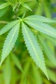 plant of marihuana