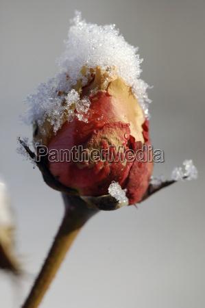 winterrose - 1649047