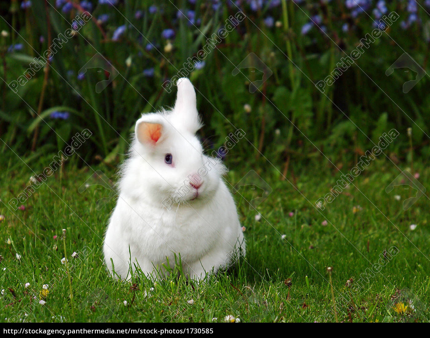 weißes Kaninchen auf Rasen Knickohr - Lizenzfreies Bild - #1730585 ...