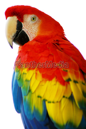 red blue macaw bird