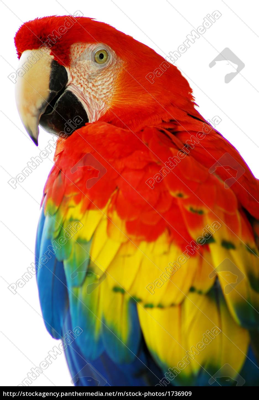 rot, blau, macaw-vogel - 1736909