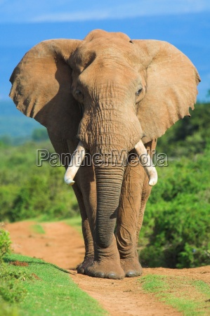 elephant, portrait - 2100951