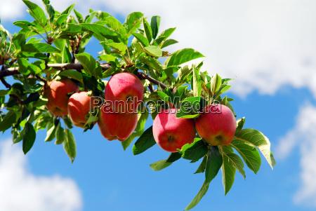 aepfel auf einem zweig