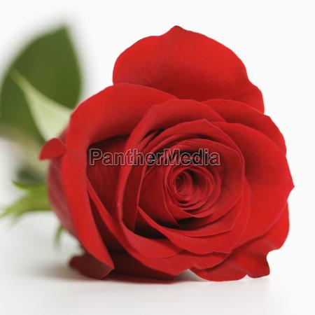 rote rose auf weissem