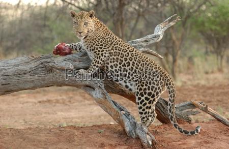 leopard africa