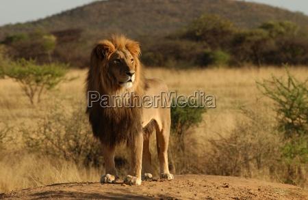 lions, -, namibia, afrika - 2534137