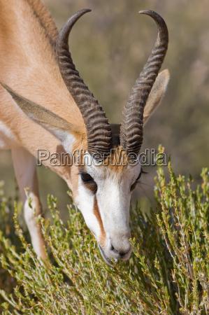 springbok feeding