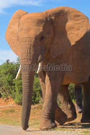 elephant bull in musth
