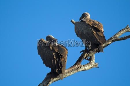 vulture pair