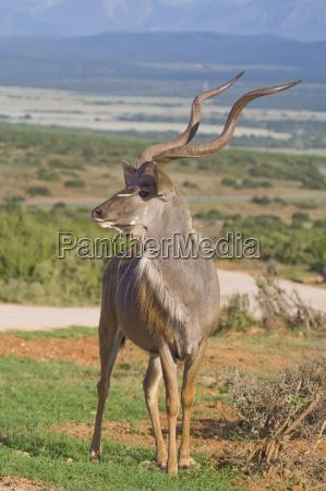 kudu king