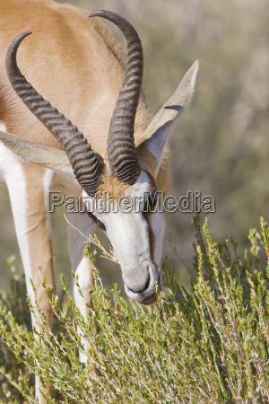 springbok feeding time