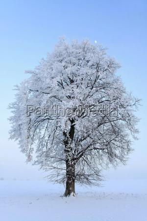 linde und mond im winter