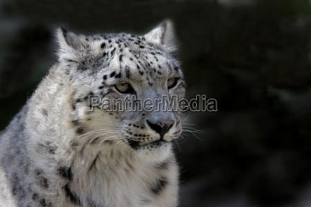 schneeleopardenportrait