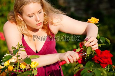 frau schneidet rosen im garten