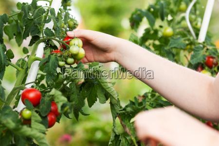 frau erntet tomaten