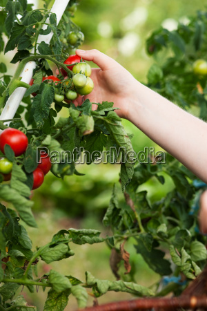 frau erntet tomaten im garten