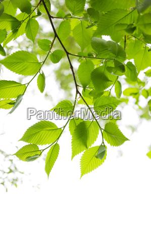 gruene fruehlingsblaetter auf weissem hintergrund