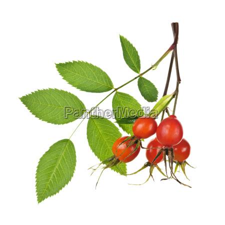 blume rose pflanze frucht obst huefte