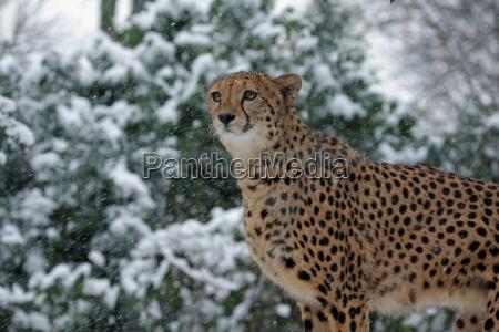 schneegepard