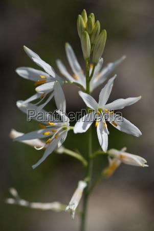 astlose graslilie anthericum liliago