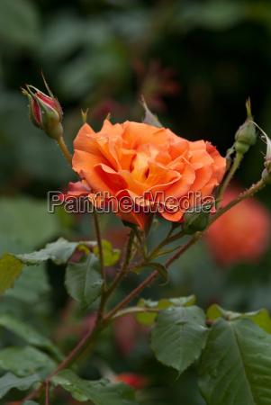 rosenportraet