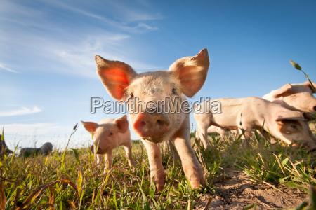kleine schwein