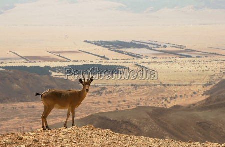 ibex on the cliff at ramon