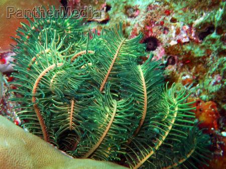green sea lily