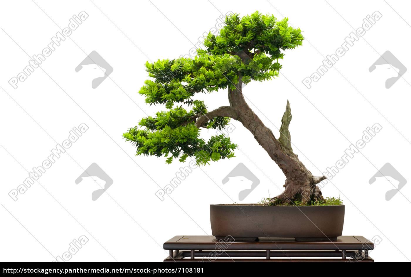 japanische eibe als bonsai baum lizenzfreies bild. Black Bedroom Furniture Sets. Home Design Ideas