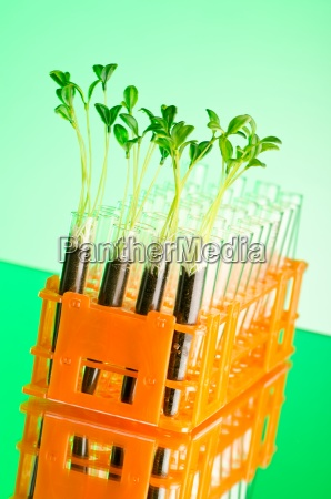 experiment with green seedlings in the