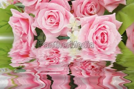 rosa rosen und ihre reflexion im